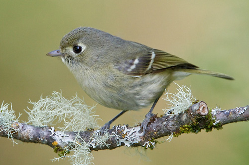 Hutton's Vireo, Glenn Bartley