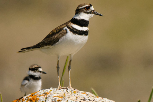 Killdeer, Ian Routley