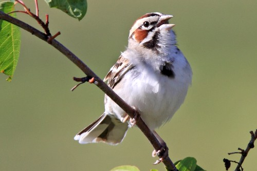 Lark Sparrow, Laure Wilson Neish