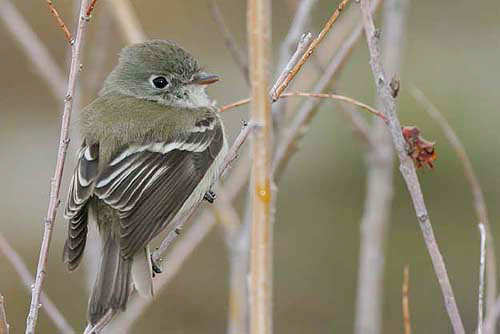 Least Flycatcher, Christian Artuso