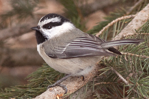 Mountain Chickadee, Alan Burger