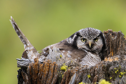 Northern Hawk Owl, Ian Routley