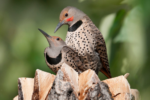 Northern Flicker, John Gordon