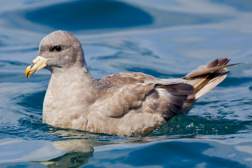 Northern Fulmar, Glenn Bartley