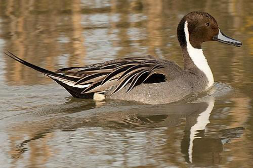 Northern Pintail, Ian Routley