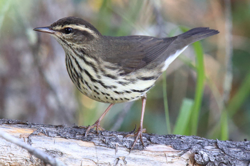 Northern Waterthrush, Laure Wilson Neish