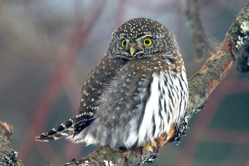 Northern Pygmy-Owl, Dusty Veideman