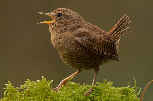 Pacific Wren, Jess Findlay
