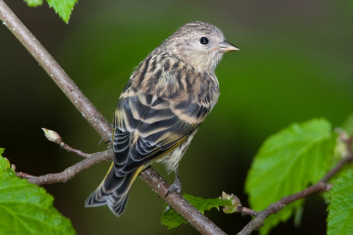 Pine Siskin, Dusty Veideman