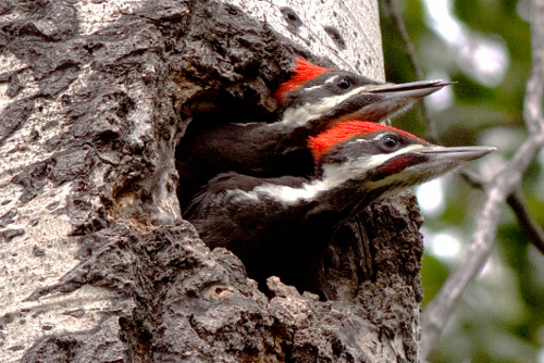 Pileated Woodpecker, Alan Burger