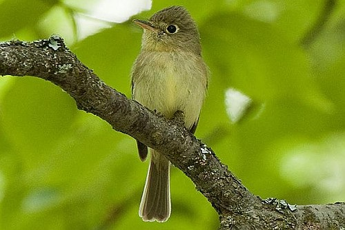 Pacific-slope Flycatcher, Ian Routley