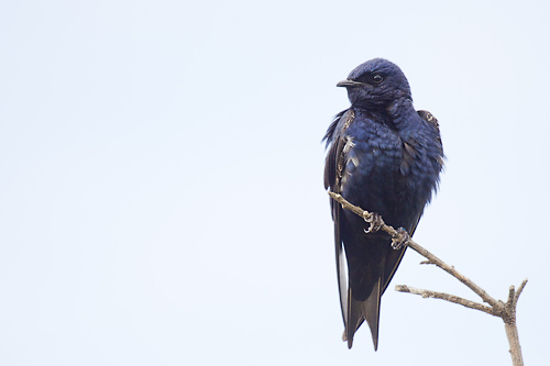 Purple Martin, Peter Candido