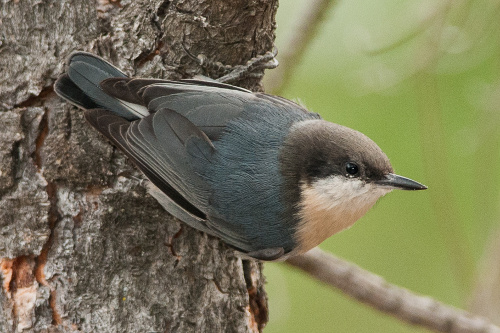 Pygmy Nuthatch, Ian Routley
