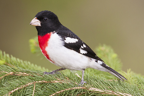Rose-breasted Grosbeak, Ron Ridout