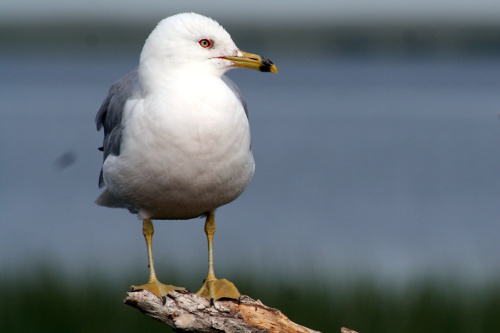 Ring-billed Gull, John Reynolds