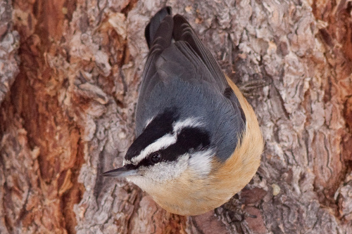 Red-breasted Nuthatch, Alan Burger