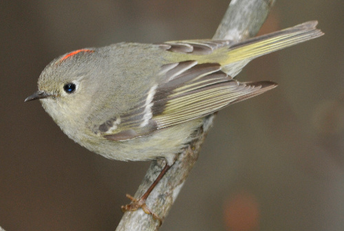 Ruby-crowned Kinglet, Dusty Veideman
