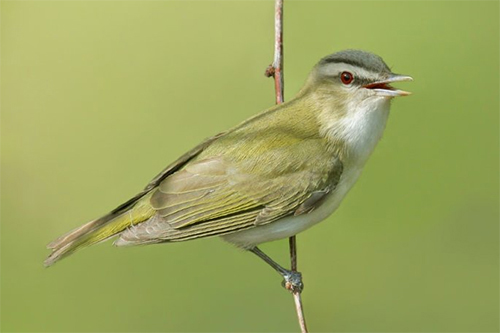 Red-eyed Vireo, Nick Saunders