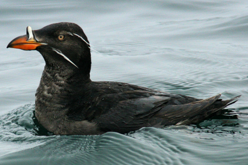 Rhinoceros Auklet, Alan Burger