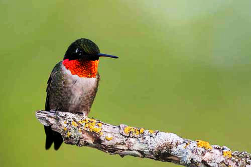 Ruby-throated Hummingbird, Christian Artuso