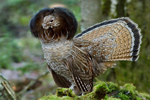 Ruffed Grouse, Glenn Bartley