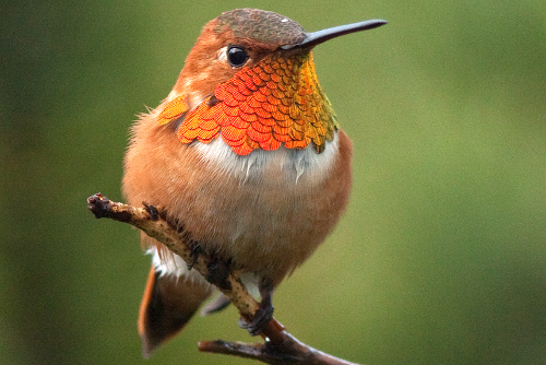 Rufous Hummingbird, Alan Burger