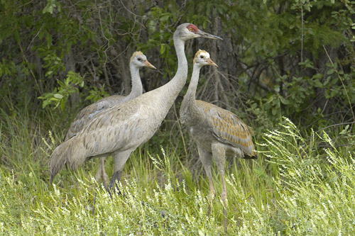 Sandhill Crane, North and South Photography