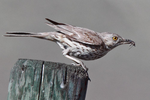 Sage Thrasher, Laure Wilson Neish