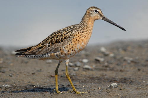 Short-billed Dowitcher, Cameron Eckhert