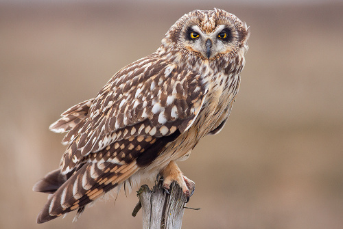Short-eared Owl, Jess Findlay