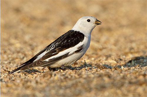 Snow Bunting, Glenn Bartley