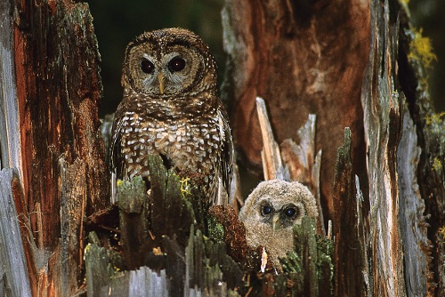 Spotted Owl, Jared Hobbs