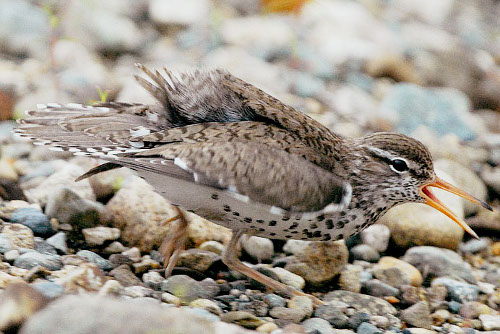 Spotted Sandpiper, Mike Yip