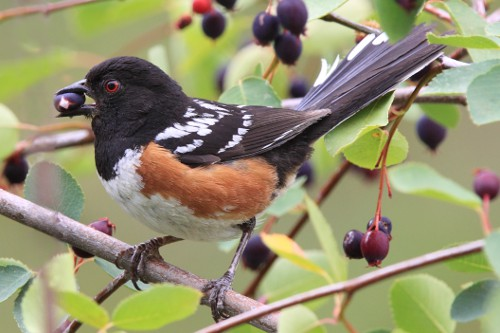 Spotted Towhee, Laure Wilson Neish