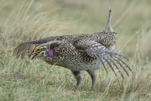 Sharp-tailed Grouse, H. Loney Dickson