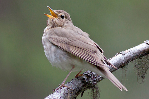 Swainson's Thrush, Jess Findlay