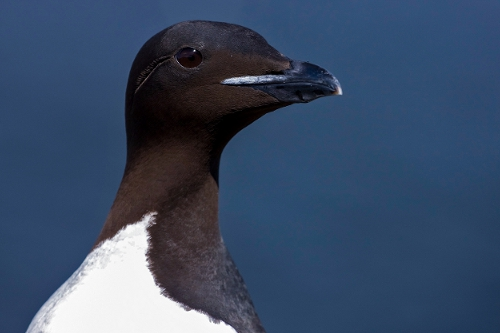 Thick-billed Murre, Mark Hipfner