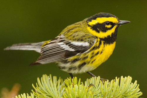 Townsend's Warbler, Ian Routley