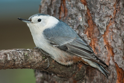 White-breasted Nuthatch, Ian Routley