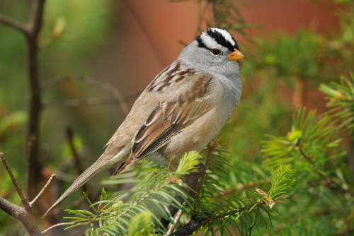 White-crowned Sparrow, Dusty Veideman