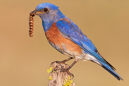 Western Bluebird, Jess Findlay