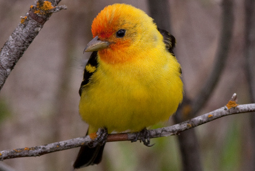Western Tanager, Alan Burger