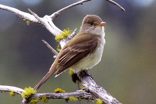 Willow Flycatcher, Alan Burger