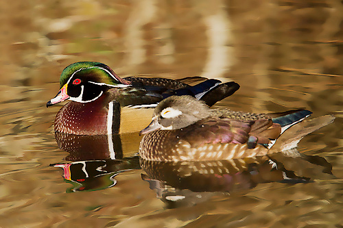 Wood Duck, Peter Candido
