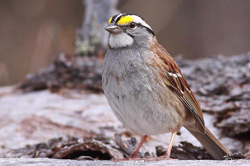 White-throated Sparrow, Christian Artuso