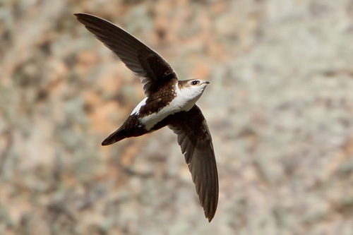 White-throated Swift, Glenn Bartley