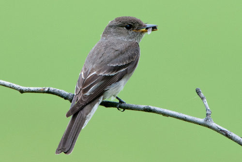 Western Wood-Pewee, Dusty Veideman
