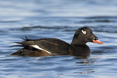 White-winged Scoter, Glenn Bartley