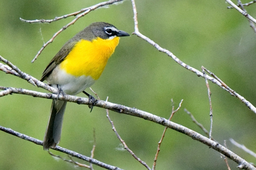 Yellow-breasted Chat, John Gordon