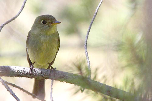 Yellow-bellied Flycatcher, Christian Artuso
